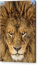 Serious Lion Acrylic Print by Mike Centioli