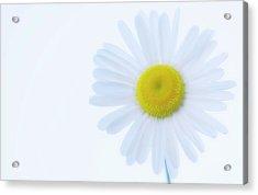 Shasta Daisy (leucanthemum X Superbum) Acrylic Print by Maria Mosolova/science Photo Library