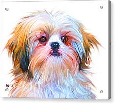 Shih Tzu Painting Acrylic Print by Iain McDonald