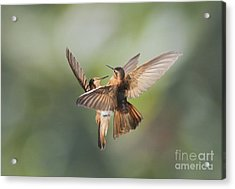 Shining Sunbeam Hummingbirds Acrylic Print