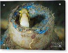 Short-head Sabretooth Blenny Peering Acrylic Print by Steve Jones