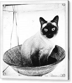 Siamese In A Bowl Acrylic Print