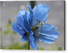 Simplicity In Blue Acrylic Print
