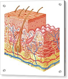 Skin Layers Acrylic Print by Asklepios Medical Atlas