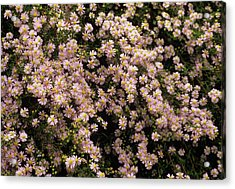 Sky Blue Aster Flowers Acrylic Print by Anthony Cooper/science Photo Library