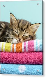 Sleepy Kitten Acrylic Print by Greg Cuddiford