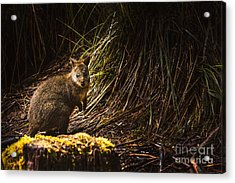 Small Marsupial Pademelon In Thick Tasmania Forest Acrylic Print