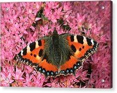 Small Tortoiseshell Butterfly Acrylic Print by Nigel Downer