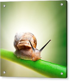 Snail On Green Stem Acrylic Print