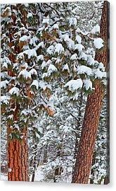Snow Fills The Boughs Of Ponderosa Pine Acrylic Print