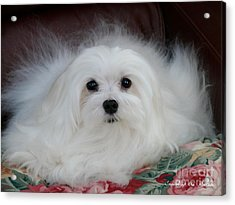 Acrylic Print featuring the mixed media Snowdrop The Maltese by Morag Bates