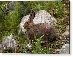 Acrylic Print featuring the photograph Snowshoe Hare by Chris Scroggins