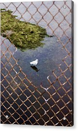 Snowy Egret  Acrylic Print by Photographic Art by Russel Ray Photos