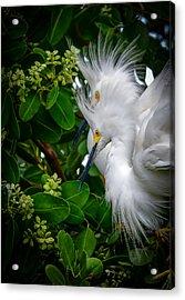 Snowy Egrets Acrylic Print
