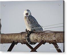 Snowy Owl In Kenosha Acrylic Print by Ricky L Jones