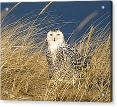 Snowy Owl In The Dunes Acrylic Print