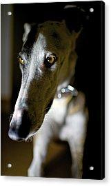 Spanish Greyhound Acrylic Print