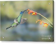 Sparkling Violet-ear Hummingbird Acrylic Print
