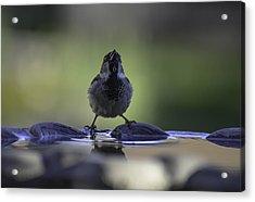 sparrow-BB-drip Acrylic Print