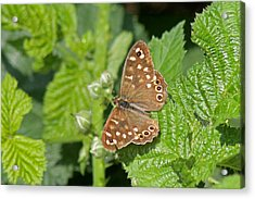 Speckled Wood Butterfly  Acrylic Print by Tony Murtagh