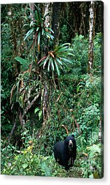 Spectacled Bear Acrylic Print by Art Wolfe