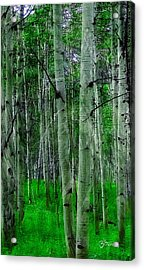 Spectacular Aspens Acrylic Print