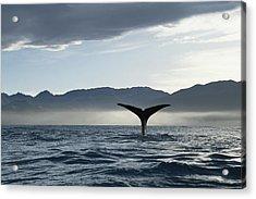 Sperm Whale Physeter Macrocephalus Acrylic Print by Flip Nicklin