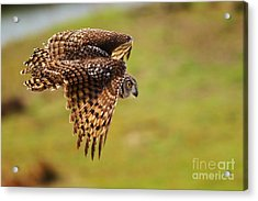 Spotted Eagle Owl In Flight Acrylic Print