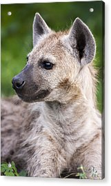 Spotted Hyena Acrylic Print by Sean McSweeney