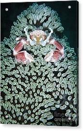 Spotted Porcelain Crab In Anemone Acrylic Print by Steve Jones