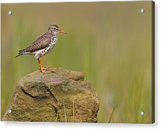 Spotted Sandpiper Acrylic Print