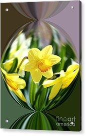 Spring Daffodils   Acrylic Print by Tina  LeCour