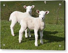 Spring Lambs Acrylic Print