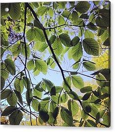 Spring Leaves Acrylic Print