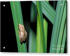 Spring Peeper Frog Acrylic Print by Larry West