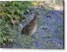Acrylic Print featuring the photograph Spruce Grouse by James Petersen