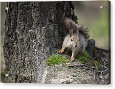 Squirrel Acrylic Print by Ira Gorod