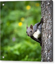 Squirrel Acrylic Print by Maurizio Bacciarini