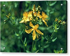 St John's Wort Flowers Acrylic Print by Th Foto-werbung/science Photo Library
