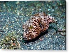 Starry Pufferfish Acrylic Print by Georgette Douwma
