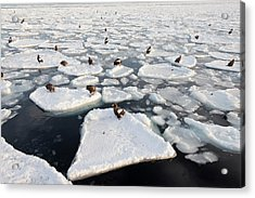 Steller's Sea Eagles On Sea Ice Acrylic Print by Dr P. Marazzi