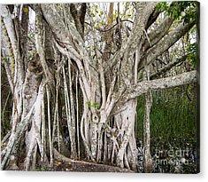 Strangler Fig Tree Acrylic Print