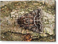Straw Underwing Moth Acrylic Print by Nigel Downer