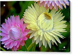 Strawflower Blossoms Acrylic Print