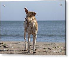 Stray Dog On The Beach Acrylic Print by Patricia Hofmeester
