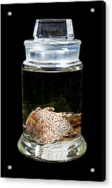 Striated Frogfish Acrylic Print by Natural History Museum, London