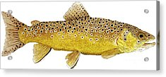 Study Of A Brown Trout Acrylic Print