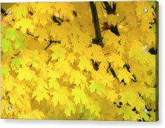 Sugar Maple (acer Saccharum) Acrylic Print by Maria Mosolova/science Photo Library