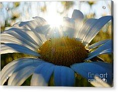 Sun Flower Acrylic Print by Kandids By Katy
