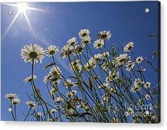 Sun Lit Daisies Acrylic Print by Brian Roscorla